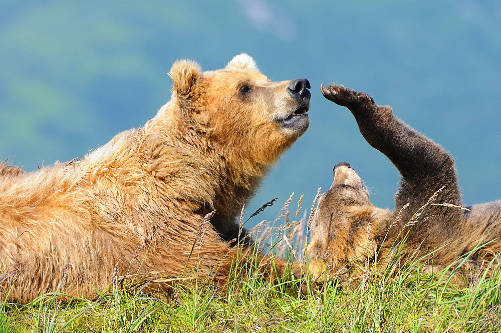 Brown Bear (Ursus Arctos) And Cub, Katmai National Park, Alaska, United States Of America