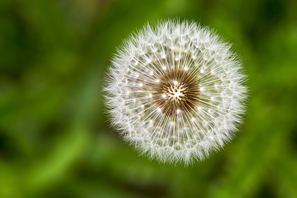 Extreme Close Up Looking Down On The Plant Of A Dandelion Fuzzy Seeds, Calgary, Alberta, Canada