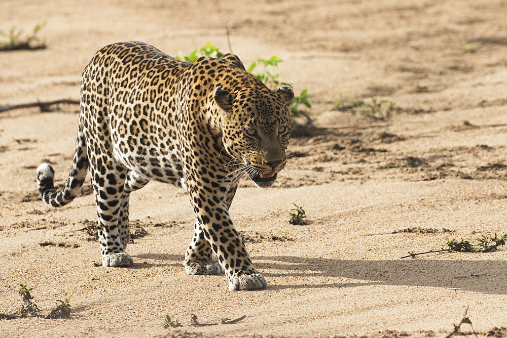 Leopard (Panthera Pardus), Sabi Sand Game Reserve, South Africa