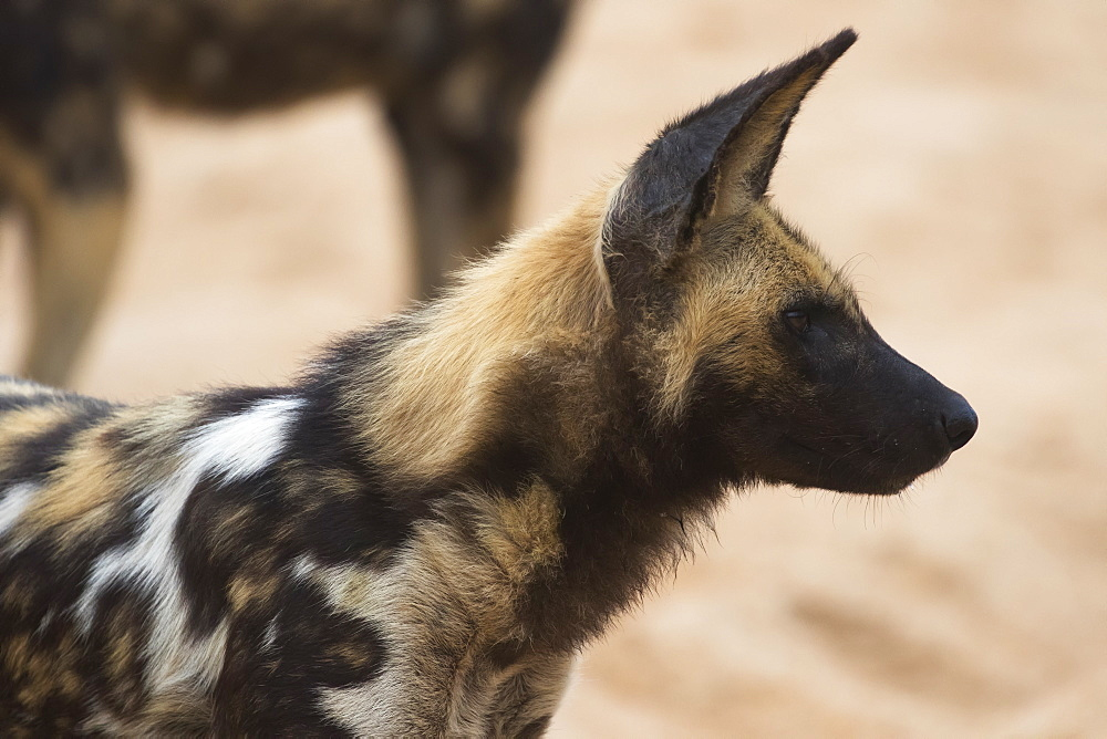 Cape Hunting Dog (Lycaon Pictus), Sabi Sand Game Reserve, South Africa