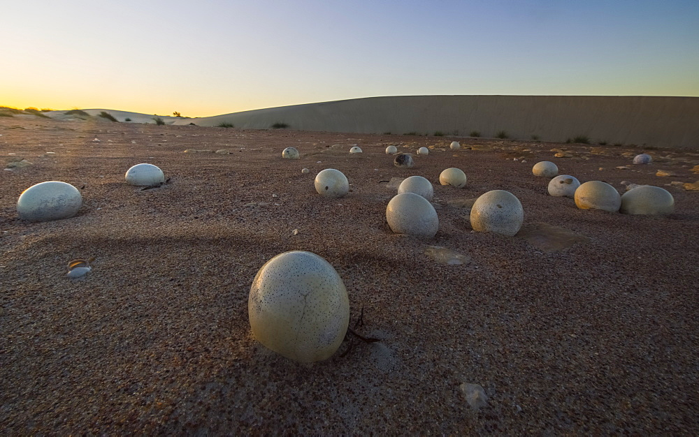 Abandoned Ostrich Eggs In The Desert, Namaqualand National Park, South Africa