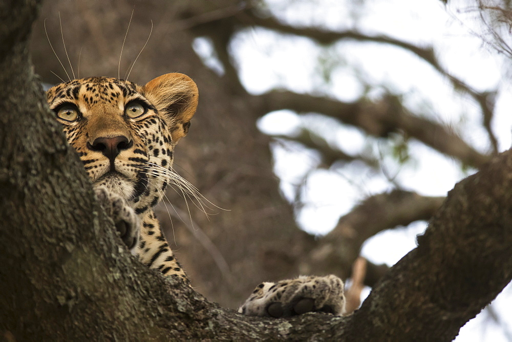 Leopard (Panthera Pardus) Lounging In A Tree Looking For It's Next Meal, Sabi Sand Game Reserve, South Africa