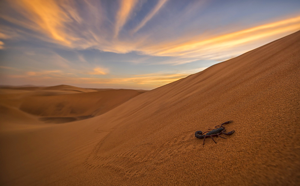 Scorpion Walking Through The Desert, Swakopmund, Namibia