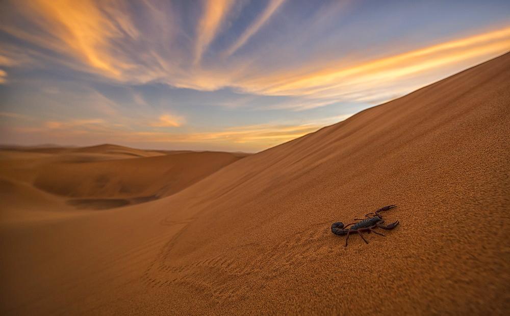 Scorpion Walking Through The Desert, Swakopmund, Namibia