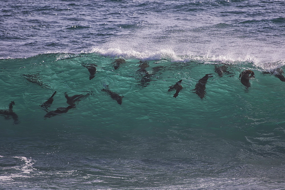 Cape Fur Seals (Arctocephalus Pusillus) Swimming In The Surf, Namaqualand National Park, South Africa