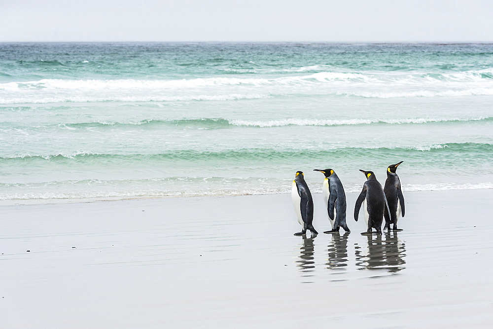 King Penguins (Aptenodytes Patagonicus) Standing Together On The Beach At The Water's Edge