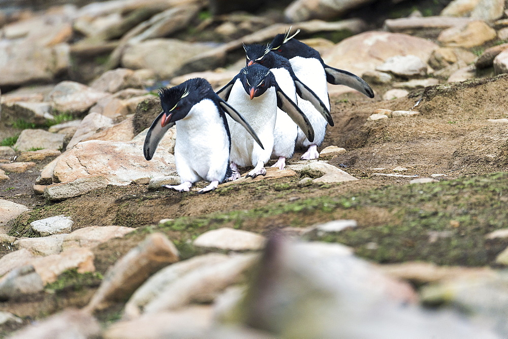 Rockhopper Penguins (Eudyptes) Walking In A Row