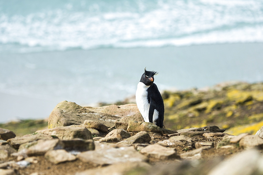 Rockhopper Penguin (Eudyptes) On The Shore With Surf Washing Onto Shore