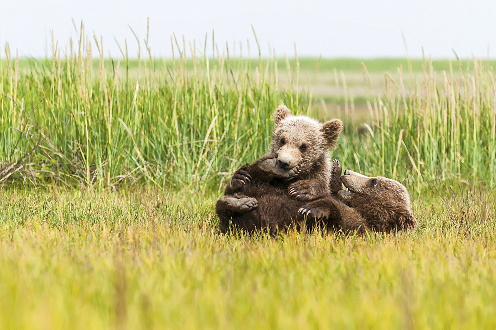 Brown Bear (Ursus Arctos) Cubs Playing In A Grass Field