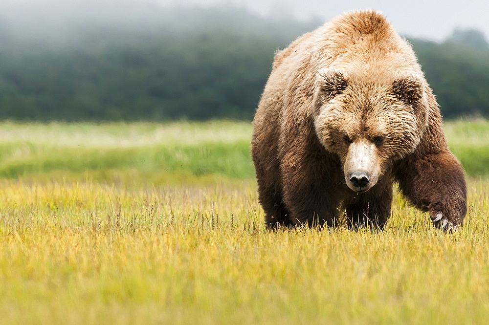 Brown Bear (Ursus Arctos) Walking Across A Grass Field Towards The Camera