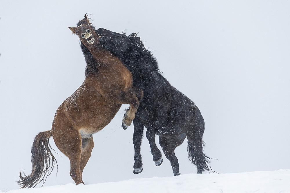 Wild Horses (Equus Ferus Caballus) Fighting, Turner Valley, Alberta, Canada