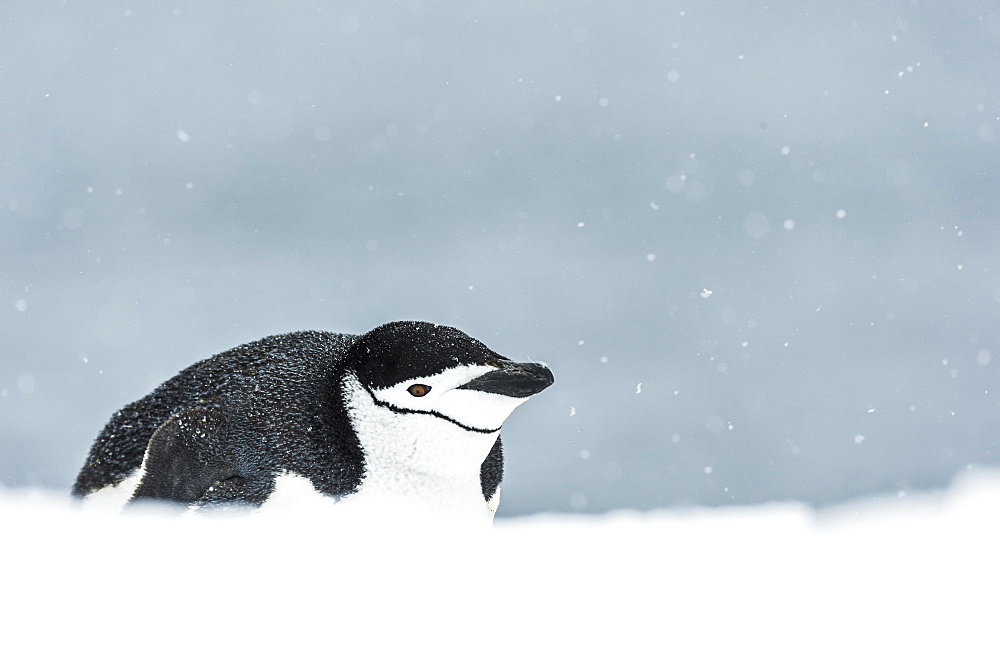 Chinstrap Penguin (Pygoscelis Antarctica) On Belly, Half Moon Island, South Shetland Islands, Antarctica