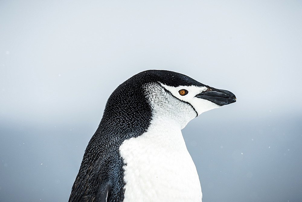 Chinstrap Penguin (Pygoscelis Antarctica) Portrait, Half Moon Island, South Shetland Islands, Antarctica