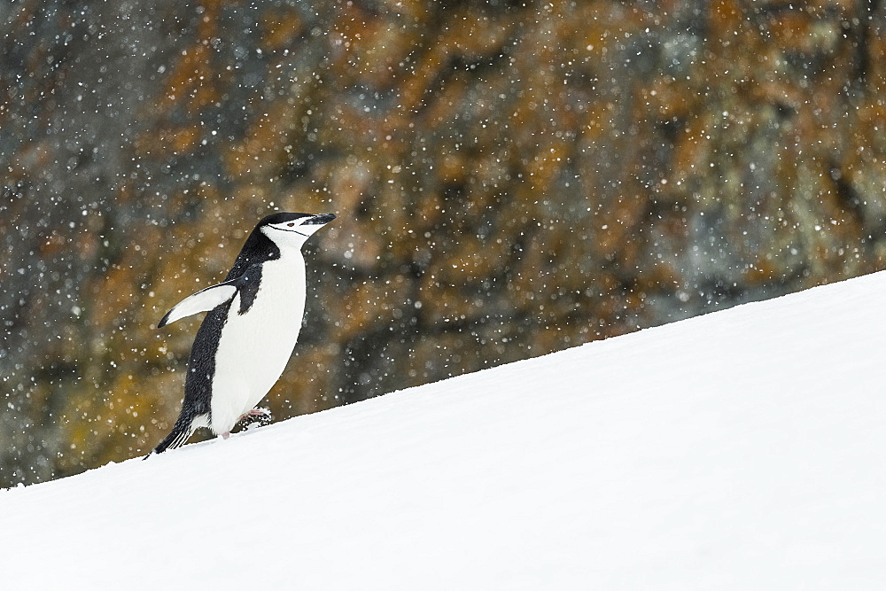 Chinstrap Penguin (Pygoscelis Antarctica) Walking Uphill, Half Moon Island, South Shetland Islands, Antarctica
