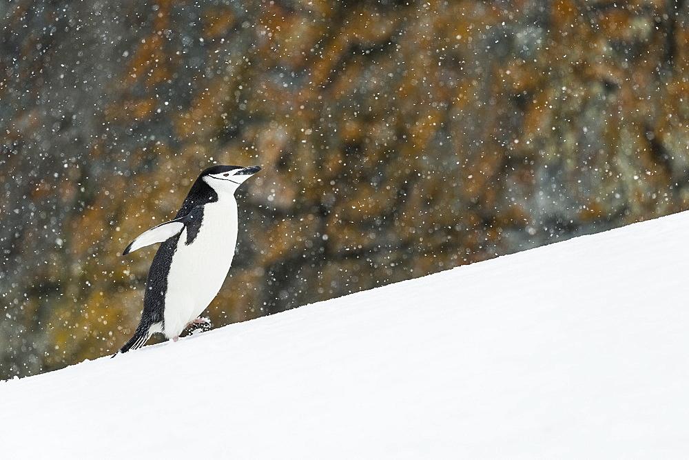 Chinstrap Penguin (Pygoscelis Antarctica) Walking Uphill, Half Moon Island, South Shetland Islands, Antarctica
