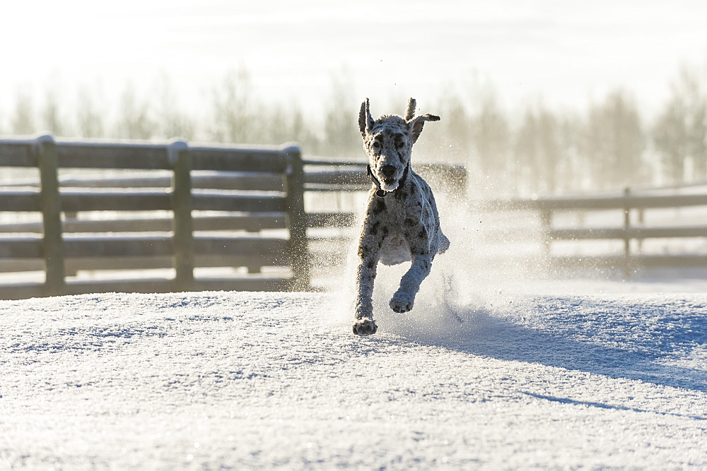Dog Running In The Snow, Cremona, Alberta, Canada