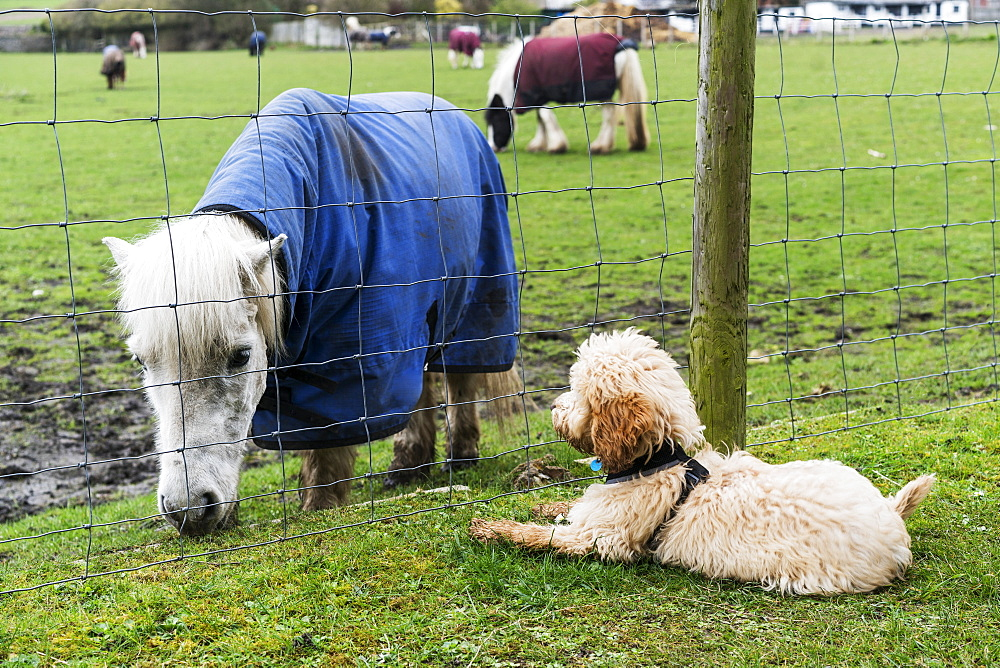 A Cockapoo Sits On The Grass On The Other Side Of A Fence Watching A Shetland Pony (Equus Ferus Caballus), South Shields, Tyne And Wear, England - 1116-46546