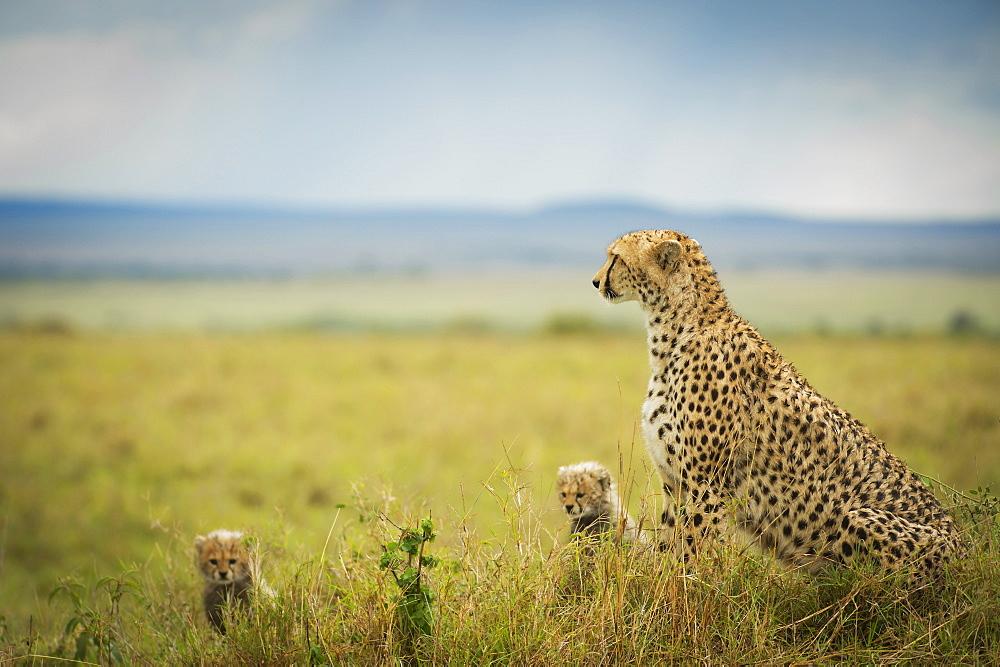 Cheetah (Acinonyx Jubatus) With It's Cubs, Maasai Mara National Reserve, Kenya