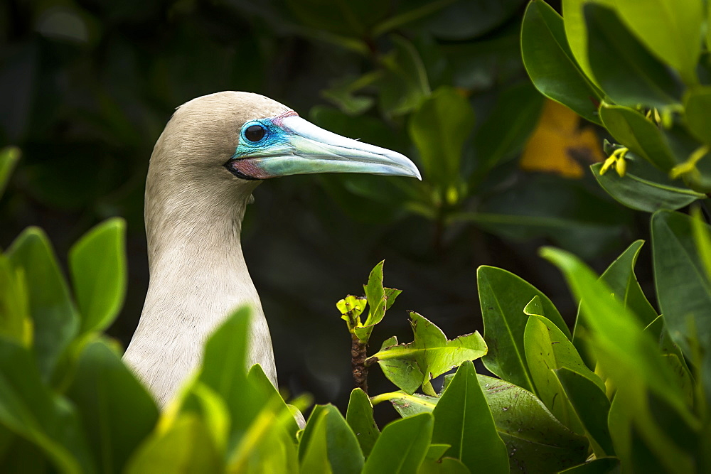Red-Footed Booby (Sula Sula), Galapagos Islands, Ecuador