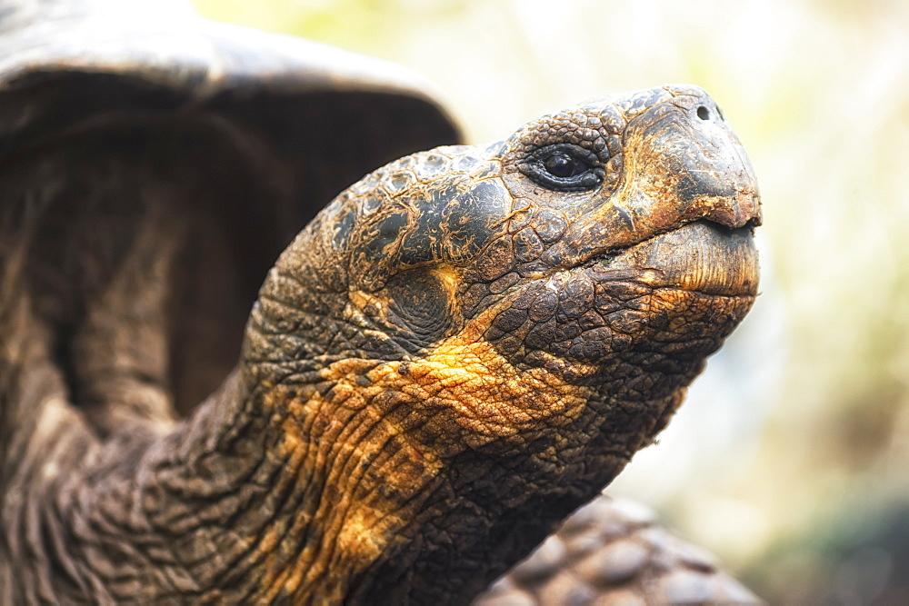 Tortoise, Galapagos Islands, Ecuador