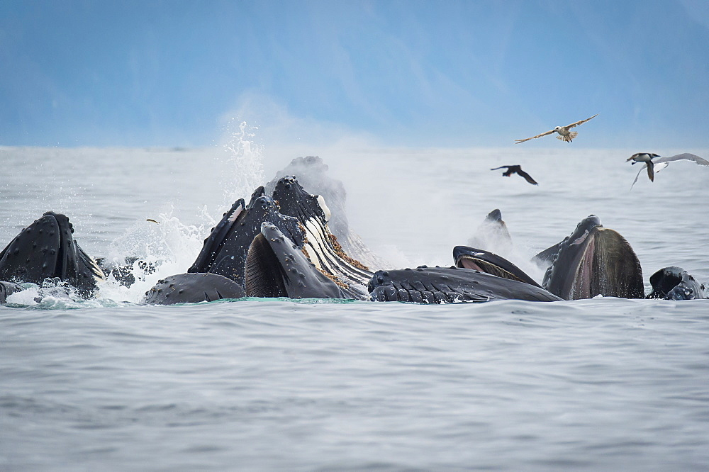Humpback Whales (Megaptera Novaeangliae) Bubble Feeding In The Seward Harbour, Seward, Alaska, United States Of America - 1116-46570