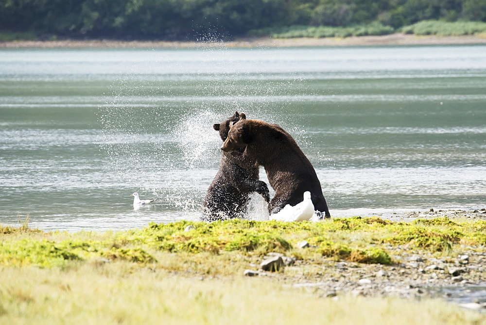 Alaskan Coastal Bears (Ursus Arctos) Fighting, Geographical Bay, Alaska, United States Of America