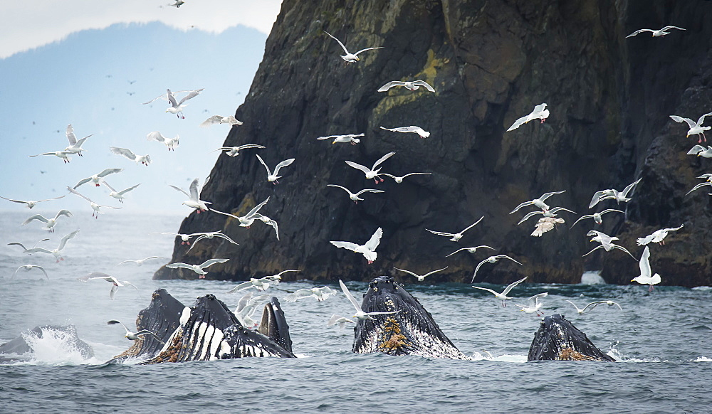 Humpback Whales (Megaptera Novaeangliae) Bubble Feeding And Surrounded By Seagulls In The Harbour, Seward, Alaska, United States Of America