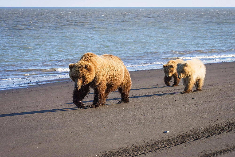 Alaskan Coastal Bears (Ursus Arctos) Clamming, Lake Clark National Park, Alaska, United States Of America