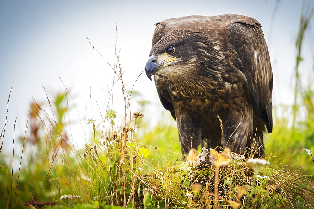 Juvenile Eagle, Geographical Bay, Alaska, United States Of America