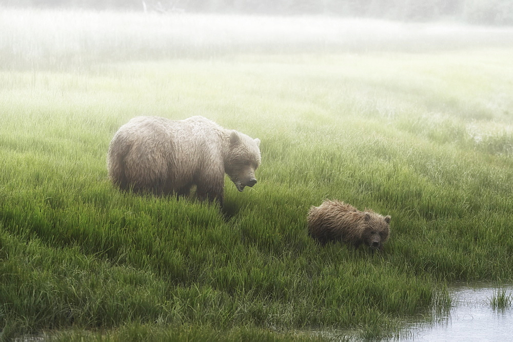 Alaska Peninsula Brown Bear (Ursus Arctos Horribilis) And It's Cub Walking To The Edge Of A Lake On A Foggy Morning, Lake Clark National Park, Alaska, United States Of America