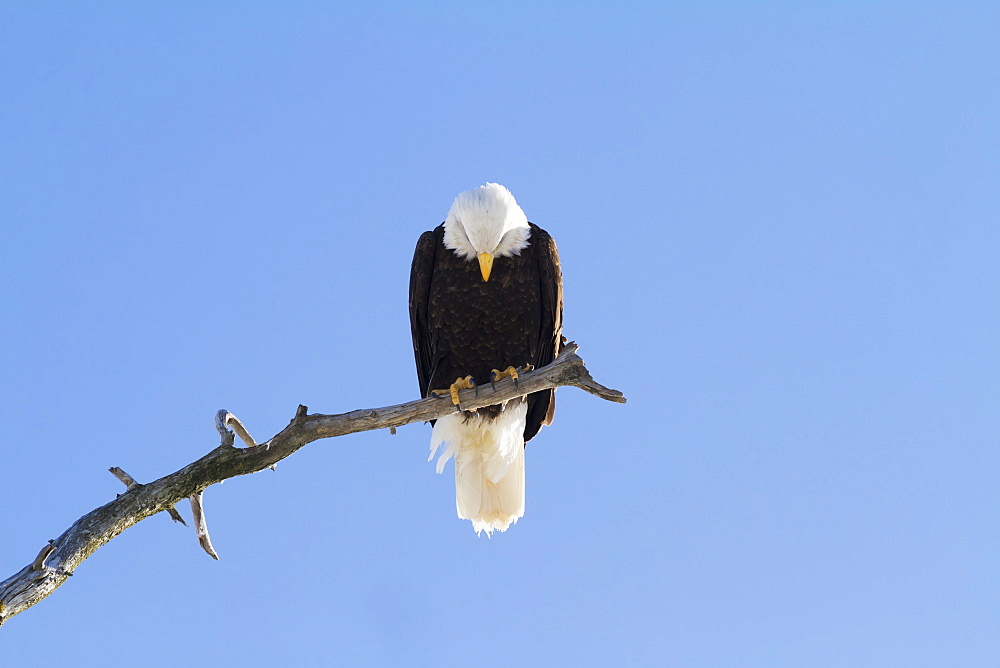 Adult Bald Eagle (Haliaeetus Leucocephalus) Perched On Branch In South-Central Alaska, Alaska, United States Of America