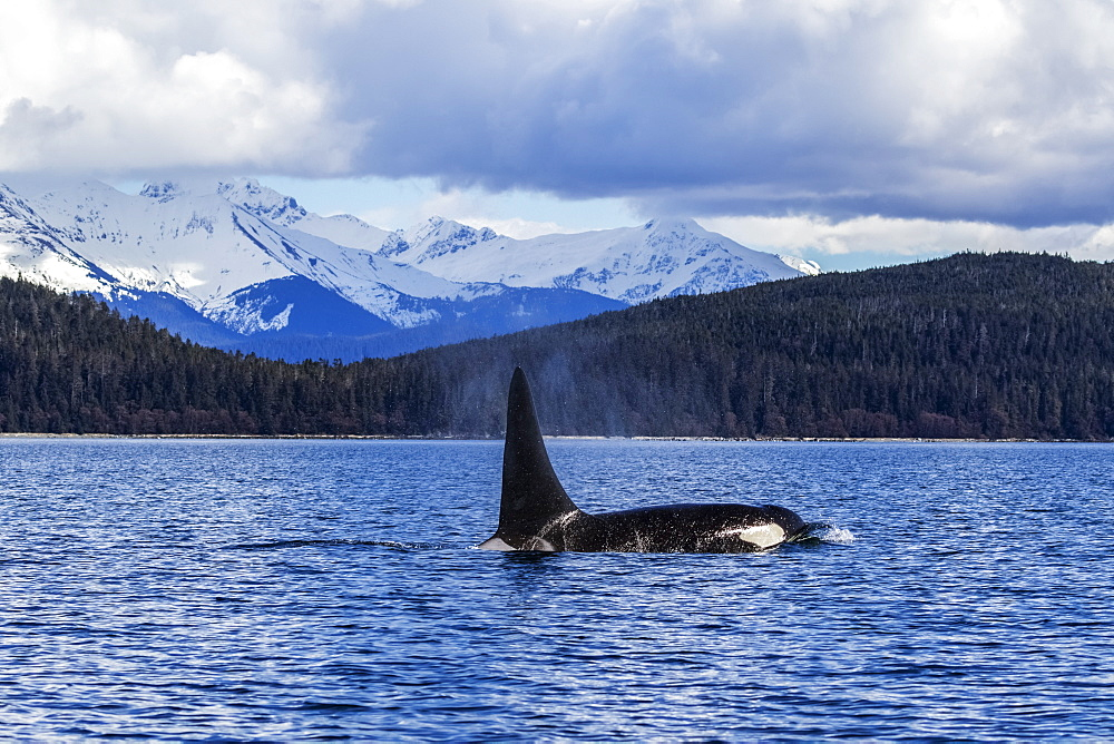 An Orca Whale, Or Killer Whale, (Orcinus Orca) Surface Near Juneau In Lynn Canal, Inside Passage, Alaska, United States Of America - 1116-46667