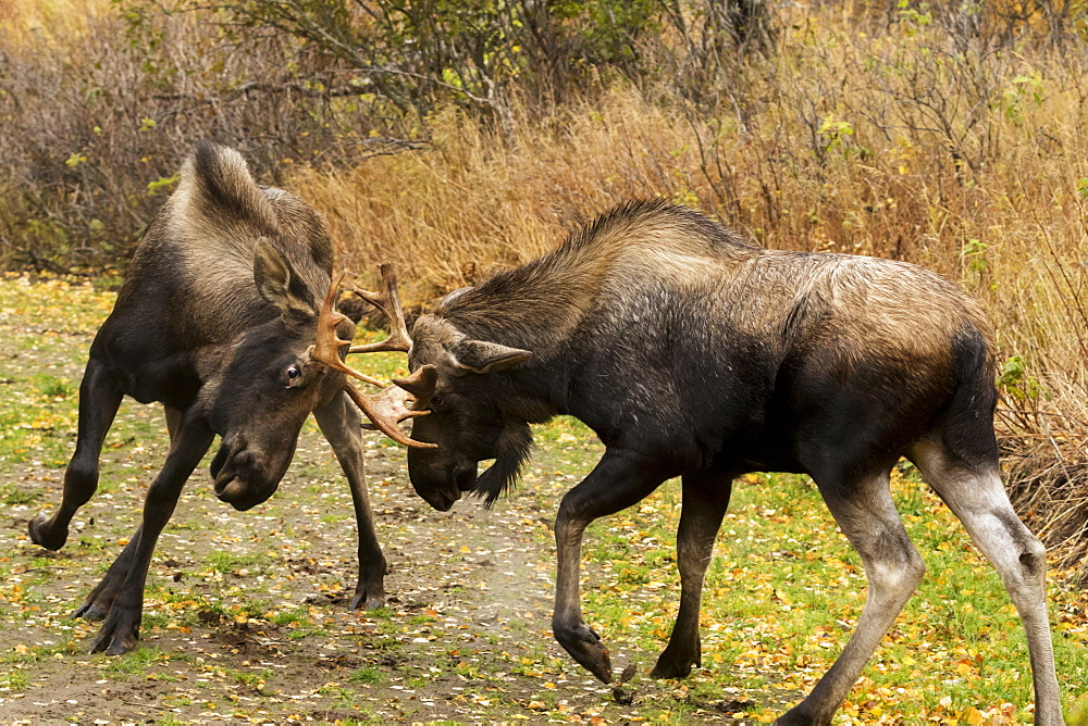 Young Bull Moose (Alces Alces) Play-Fighting On The Coastal Trail In Kincaid Park, Rutting Season, Autumn, Anchorage, Alaska, United States Of America