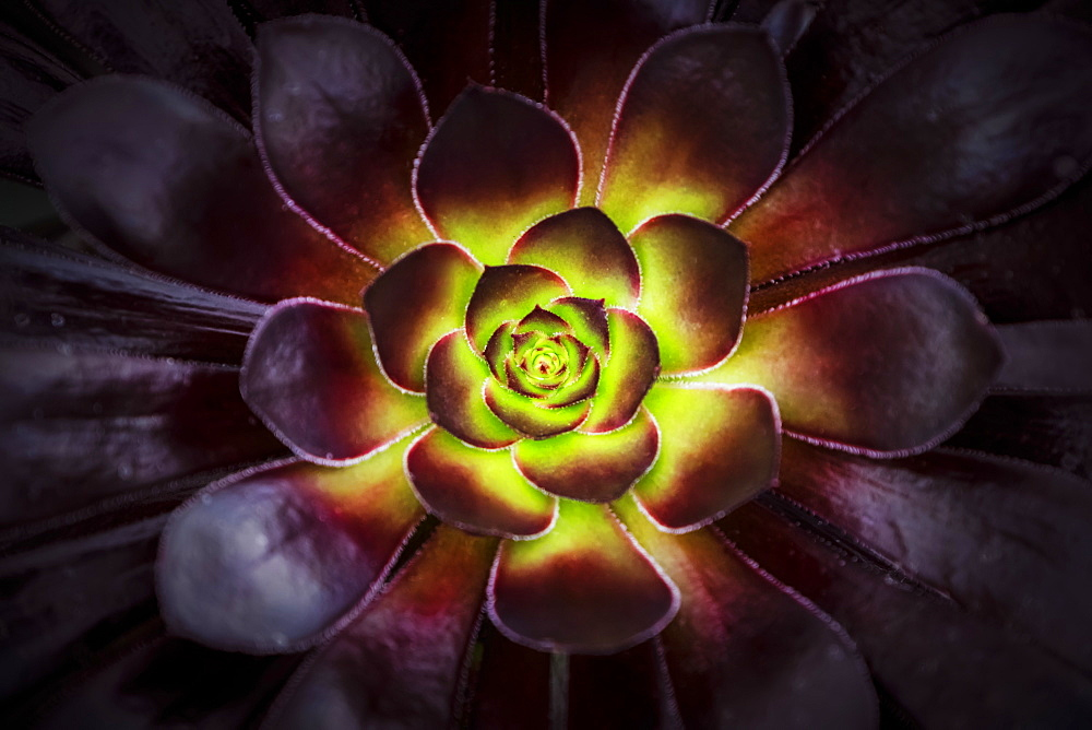 Purple And Green Aeonium, Dublin Botanic Garden, Dublin, Leister, Ireland