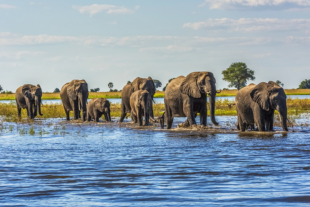 Line Of Elephants (Loxodonta Africana) Crossing River In Sunshine, Botswana