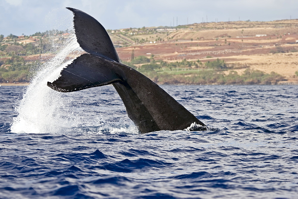 A Whale's Tail Splashing Above The Surface Of The Water And The Coastline Of A Hawaiian Island In The Background, Hawaii, United States Of America