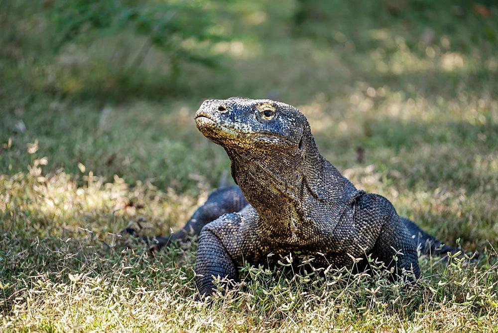 The Prehistoric Like Lizard Called The Komodo Dragon (Varanus Komodoensis), Komodo, Klores, Indonesia - 1116-46784