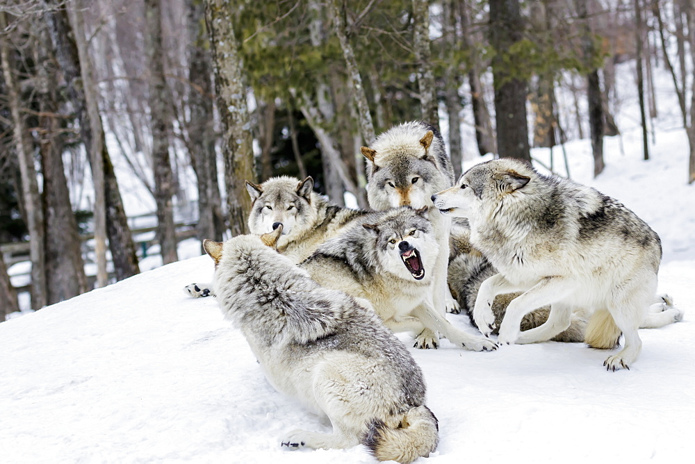Grey Wolves (Canis Lupus) Demonstrating Hierarchy, Montebello, Quebec, Canada - 1116-46797