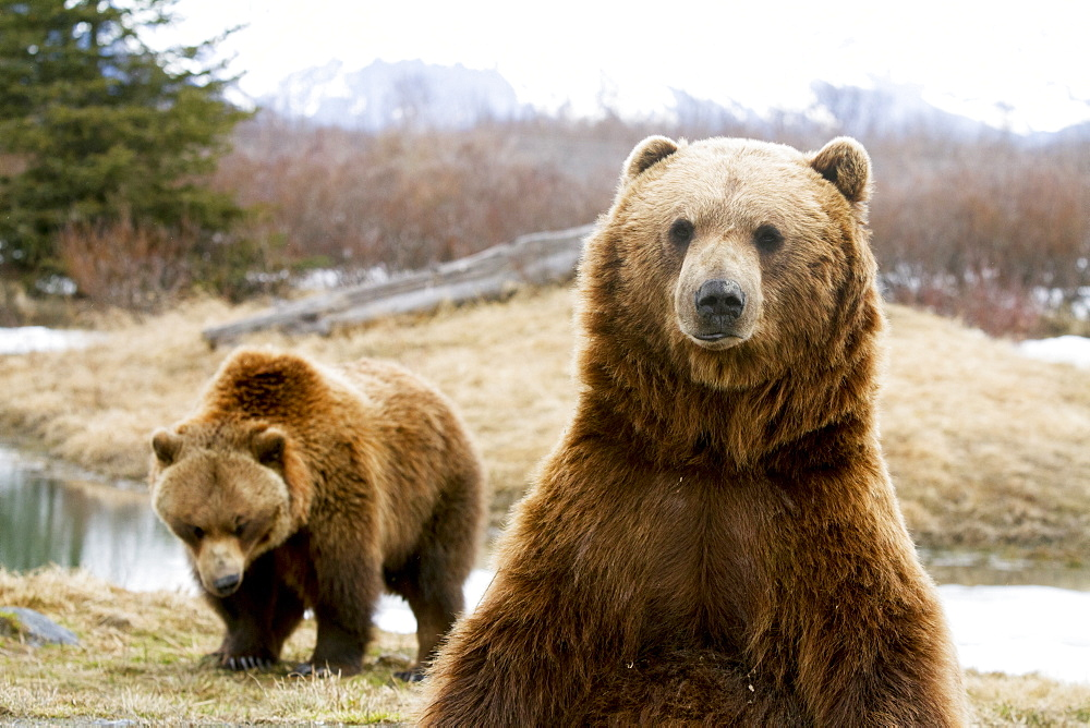 Captive: Close Up Of Two Brown Bears, Alaska Wildlife Conservation Center, Southcentral Alaska, Winter