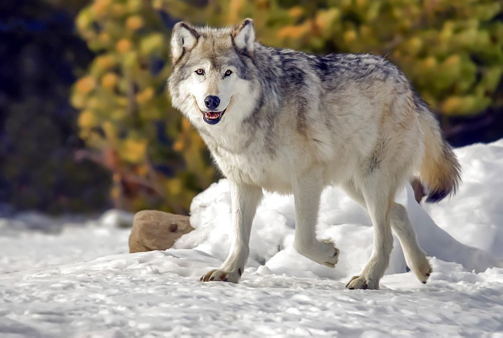 Captive Gray Wolf