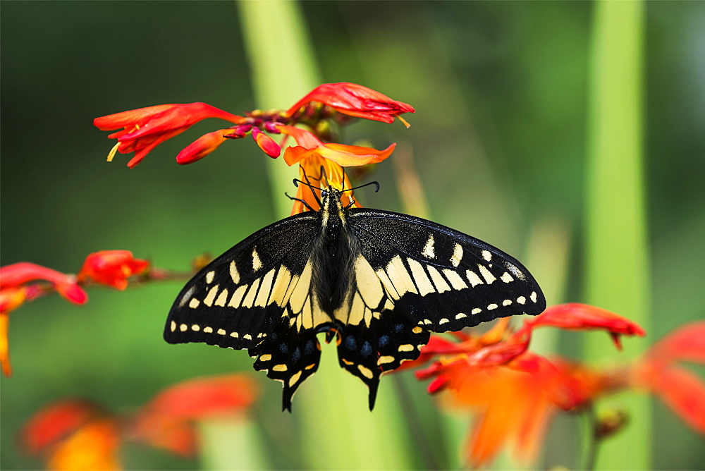 Anise Swallowtail (Papilio zelicaon) feeds on Montbretia blossoms, Astoria, Oregon, United States of America