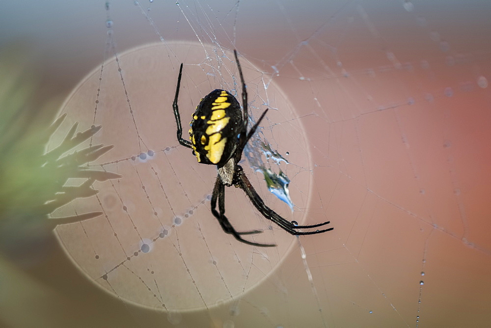 Black and yellow scary looking garden spider clings to a web, Astoria, Oregon, United States of America