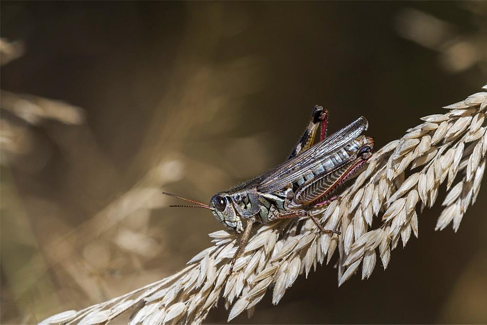 A Short-horned Grasshopper hops onto the grass, Astoria, Oregon, United States of America