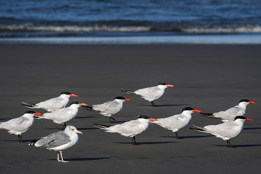 A flock of Caspian Terns (Hydroprogne caspia) and a seagull relaxes on the beach, Ilwaco, Washington, United States of America