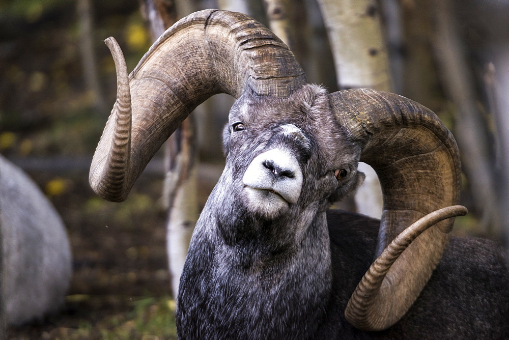 Stone Sheep (ovis dalli stonei), captive, Yukon Territory, Canada
