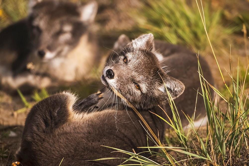 Arctic fox (vulpes lagopus), summer phase, captive, Yukon Territory, Canada