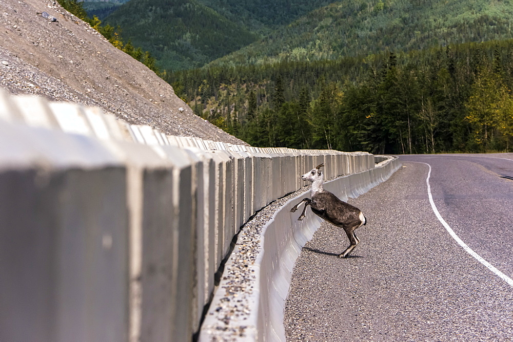 Stone sheep (Ovis dalli stonei) jumping over barrier along the Alaska Highway, British Columbia, Canada - 1116-46891