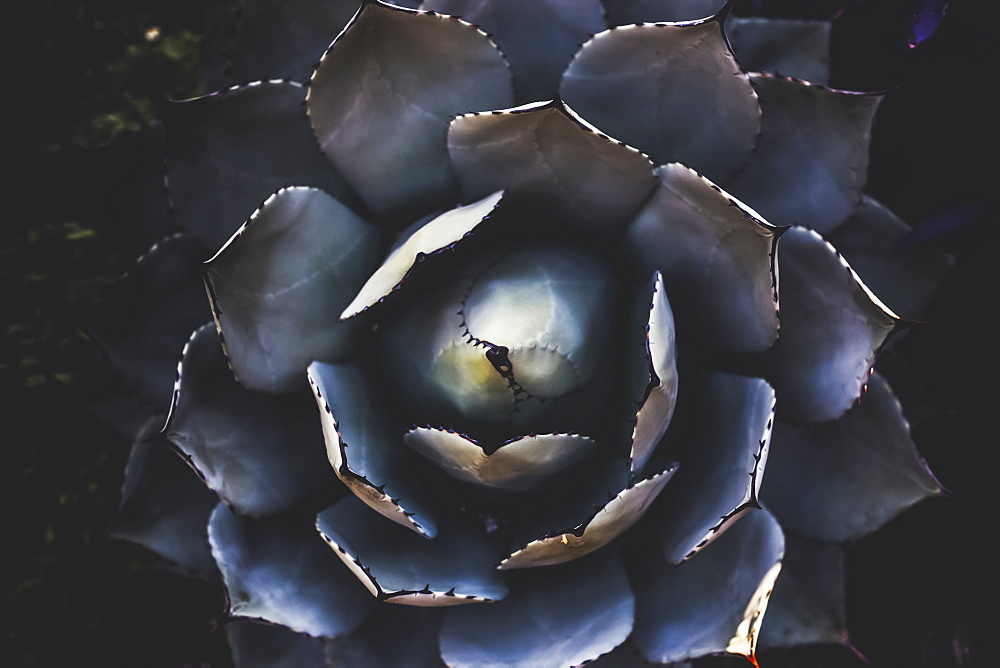 Foliage of a cactus plant in a garden viewed from directly above, Vancouver, British Columbia, Canada