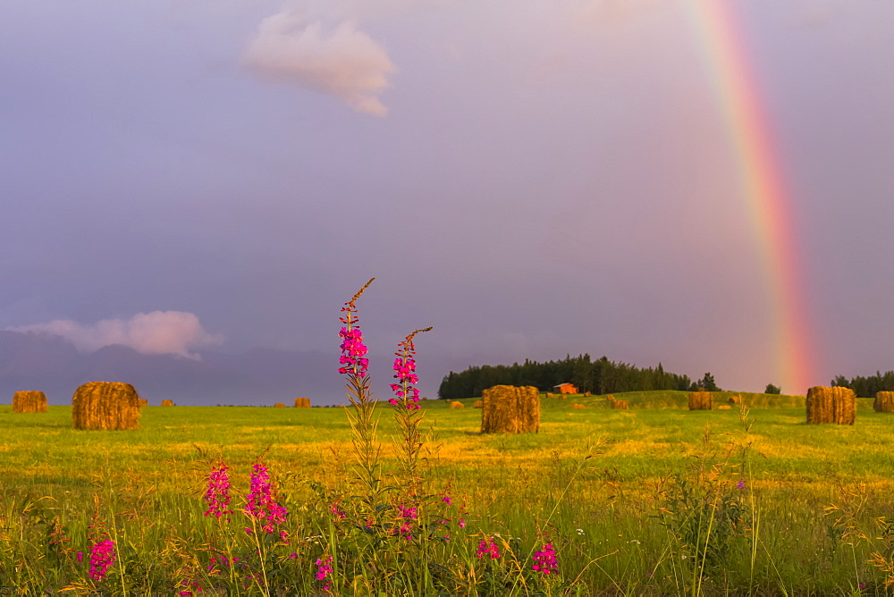 A rainbow appears in the sky over a field of freshly rolled hay bales with fireweed in the foreground, Delta Junction, Alaska, United States of America
