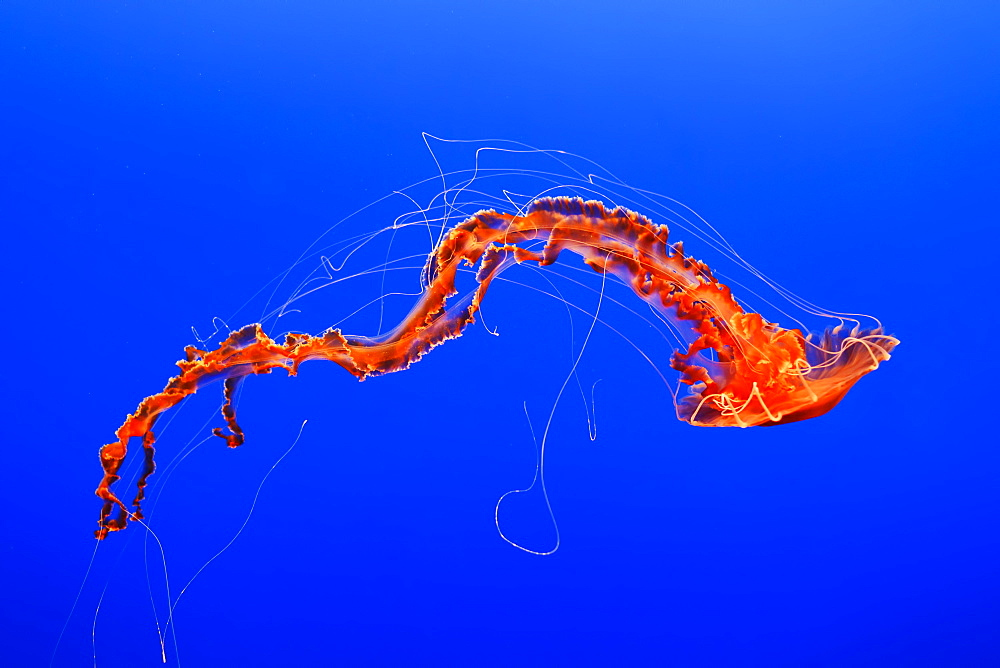 An Orange Jellyfish (Cnidarian) In The Monterey Aquarium, Monterey, California, United States Of America